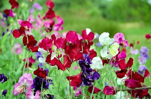 Beautiful flowers on poisonous plants spydersden sweet pea is native to the eastern mediterranean region from sicily east to crete unlike most peas the seeds of the sweet pea are poisonous mightylinksfo