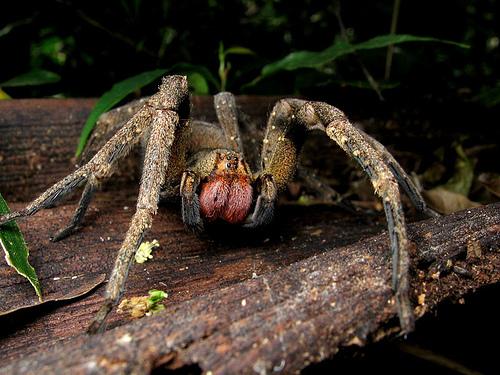 http://spydersden.files.wordpress.com/2010/12/brazilian-wandering-spider.jpg