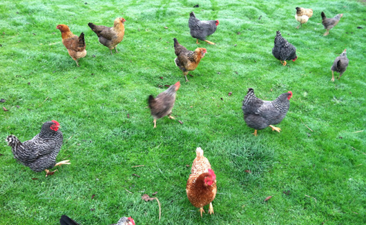 abbey_road_bb_chickens