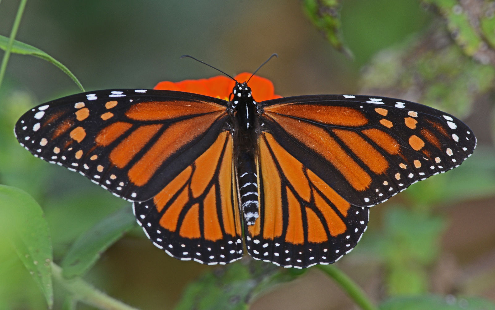 The Alarming Disappearance of Monarch Butterflies ...