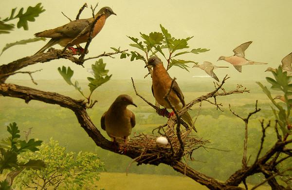 passenger-pigeon-anniversary-1-14-14-thumb-600x392-66904