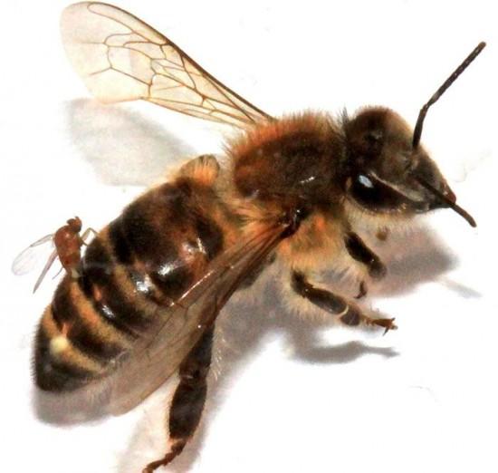 zombie-bees-550x522