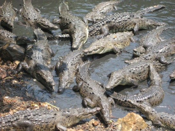 japanese-soldiers-was-decimated-by-saltwater-crocodiles-during-the-battle-of-ramree-island
